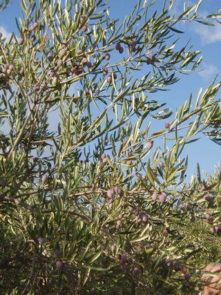 Biancolilla olives