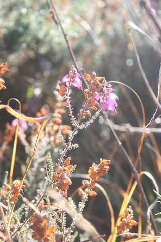 Dying heather