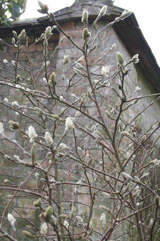 Magnolia olc