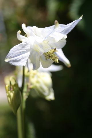 Pale blue aquilegia