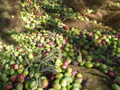 2013 olives